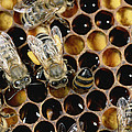 Honey Bees On Honeycomb by Konrad Wothe