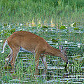 White-tailed Buck by Linda Freshwaters Arndt