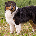Australian Shepherd Dog by Jean-Michel Labat