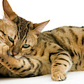 Bengal Brown Spotted Tabby by Gerard Lacz