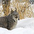Canadian Lynx by John Shaw