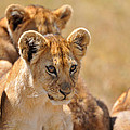 Lion With Cubs by Mark Rasmussen