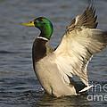 Mallard Duck by John Shaw