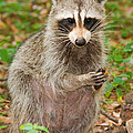 Raccoon by Millard H. Sharp