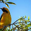 Spot Breasted Oriole by Dart and Suze Humeston