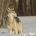 Wolf In Winter by John Shaw