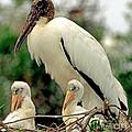 Wood Storks by Millard H. Sharp