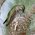 Annas Hummingbird by Anthony Mercieca