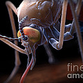 Anopheles Mosquito by Science Picture Co