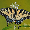 Eastern Tiger Swallowtail Butterfly by Millard H. Sharp