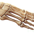 Foot Bones by Science Picture Co