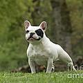 French Bulldog by Jean-Michel Labat
