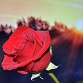 Red Rose by FL collection