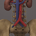 The Renal System by Science Picture Co