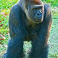 Western Lowland Gorilla by Millard H. Sharp