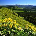 Balsamroot On Signal Mountain by Walt Sterneman