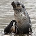 Antarctic Fur Seal by John Shaw