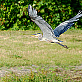 Great Blue Heron In Flight by Roy Williams