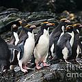 Macaroni Penguin by John Shaw