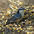 Nuthatch by Lori Tordsen
