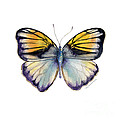 14 Pieridae Butterfly by Amy Kirkpatrick