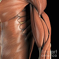 The Muscle System by Science Picture Co