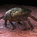 Tick Ixodes by Science Picture Co