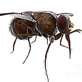 Tsetse Fly by Science Picture Co
