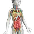 Human Anatomy by Pixologicstudio/science Photo Library
