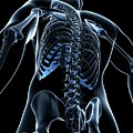 Male Skeleton by Sciepro/science Photo Library