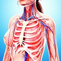 Female Cardiovascular System by Pixologicstudio/science Photo Library