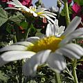 Loveflowers by Baljit Chadha
