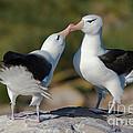 Black-browed Albatross by John Shaw