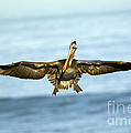 Brown Pelican by John Shaw