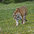 Siberian Tiger, China by John Shaw