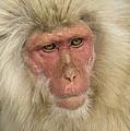 Snow Monkey, Japan by John Shaw