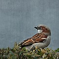 Sparrow by Heike Hultsch