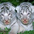 Tigre Blanc Panthera Tigris by Gerard Lacz