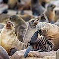 Cape Cross, Namibia, Africa - Cape Fur by Edwin Remsberg