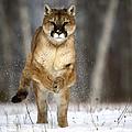 Cougar by Linda Freshwaters Arndt