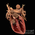 Heart Anatomy by Science Picture Co