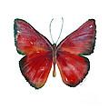 16 Mesene Rubella Butterfly by Amy Kirkpatrick