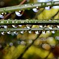 Raindrops On Bamboo Grass by Werner Lehmann