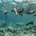 Playful Sealions In Baja by Flip Nicklin