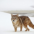 Coyote by John Shaw