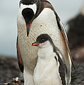 Gentoo Penguin With Young by John Shaw