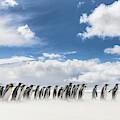 King Penguin (aptenodytes Patagonicus by Martin Zwick