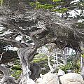 17 Mile Drive Tree by Barbara Snyder