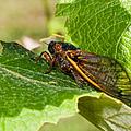 17 Year Cicada 2 by Lara Ellis