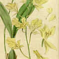 Botanical Print By Walter Hood Fitch 1817 – 1892 by Quint Lox